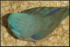 blue baby parrotlet