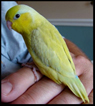 All American Parrotlet