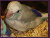 Pied Blue Parrotlet
