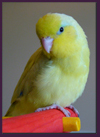 All American Yellow Parrotlet